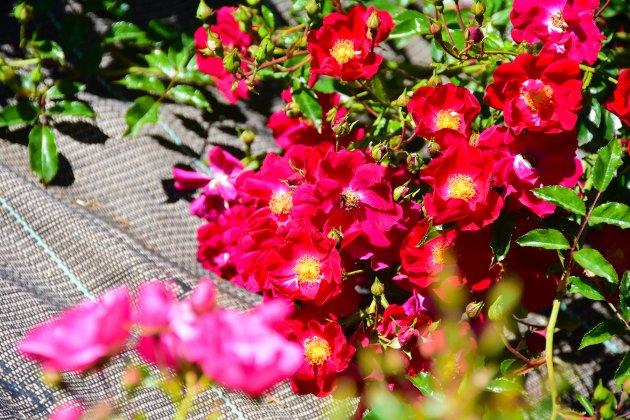 Fleurs sur le camping la Source du  Jabron prés de Dieulefit