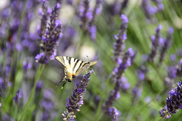 Lavandes et papillon au camping la source du Jabron